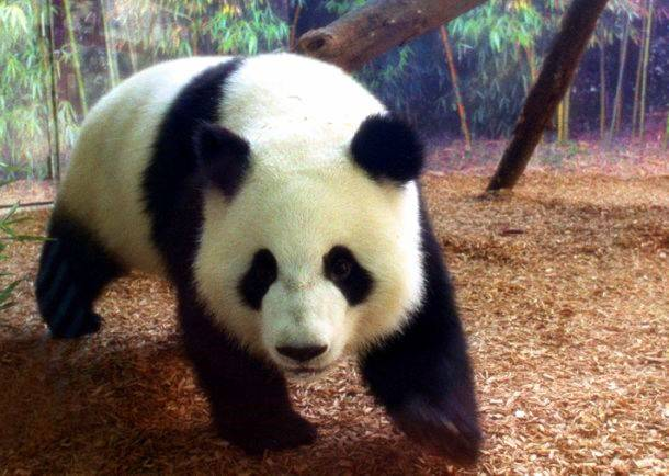 endangered panda essay